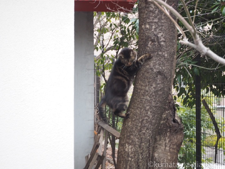 木から降りるキジトラ猫さん