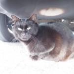 【文京区】白山神社の車の下の黒猫さん