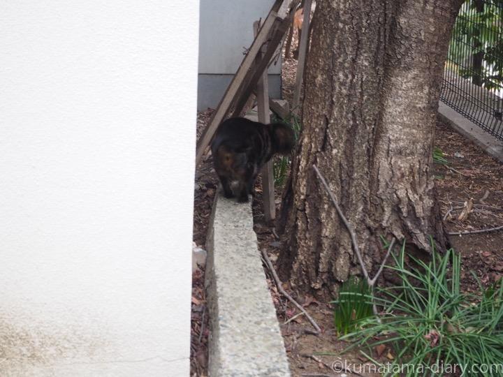 木登り後キジトラ猫さん
