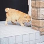 【青山】エサをおねだりする茶トラ猫さん