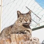 【文京区】マズルが大きいキジトラ猫さん