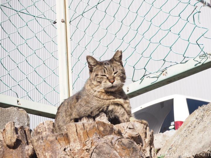 切り株の上のキジトラ猫さん