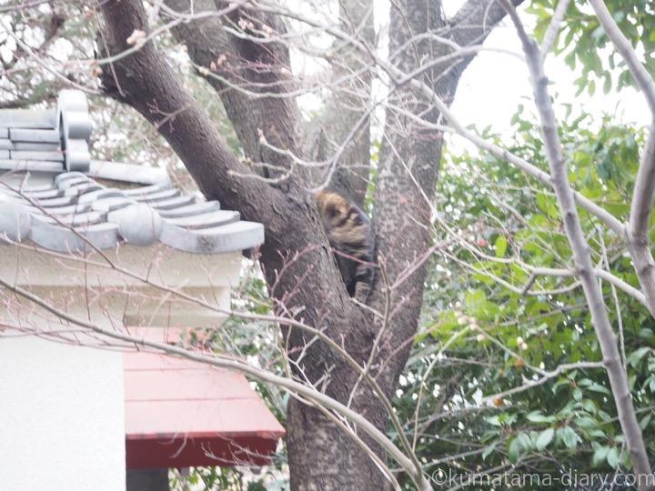 木に登るキジトラ猫さん