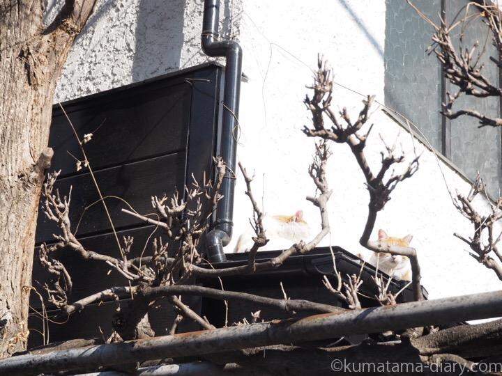 屋根の上の茶トラ白猫さん