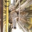 生け垣の間のキジトラ猫さん