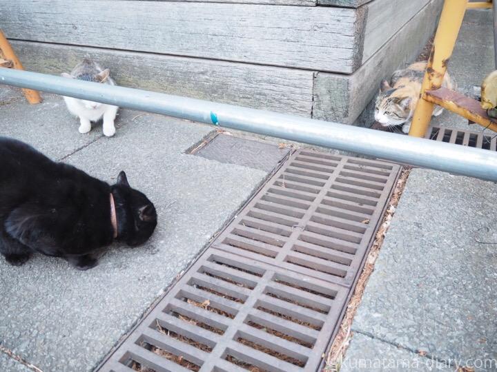 三毛猫さんvs.黒猫さん