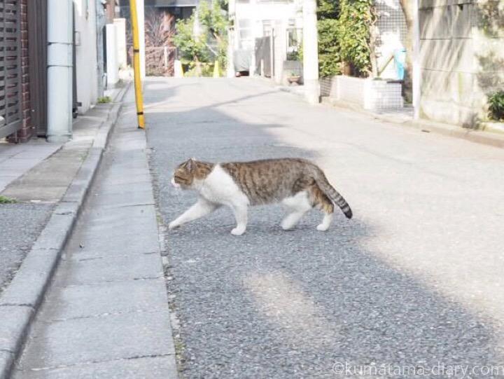 歩くキジトラ白猫さん