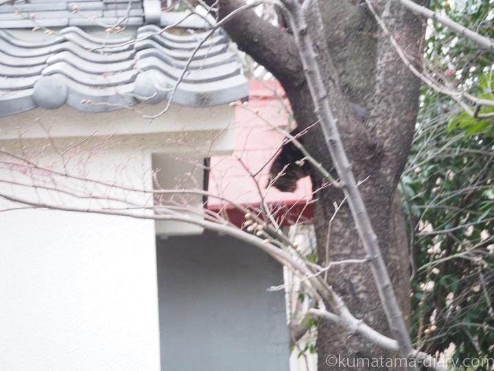 木から降りようとするキジトラ猫さん