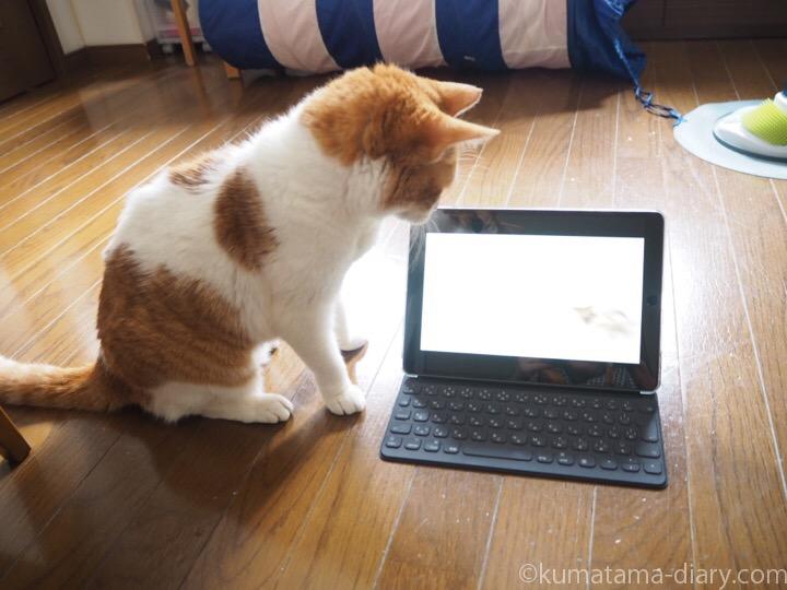 Cat TVに見入るたまき