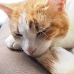 自分のしっぽにあごを乗せて寝る猫