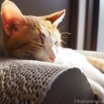 「ガリガリソファスクラッチャー」でひなたぼっこする猫