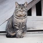 【文京区】「白山神社」の猫さんたちと桜