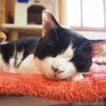 気持ちよく眠る「ネコリパブリック東京お茶の水店」の猫さんたち