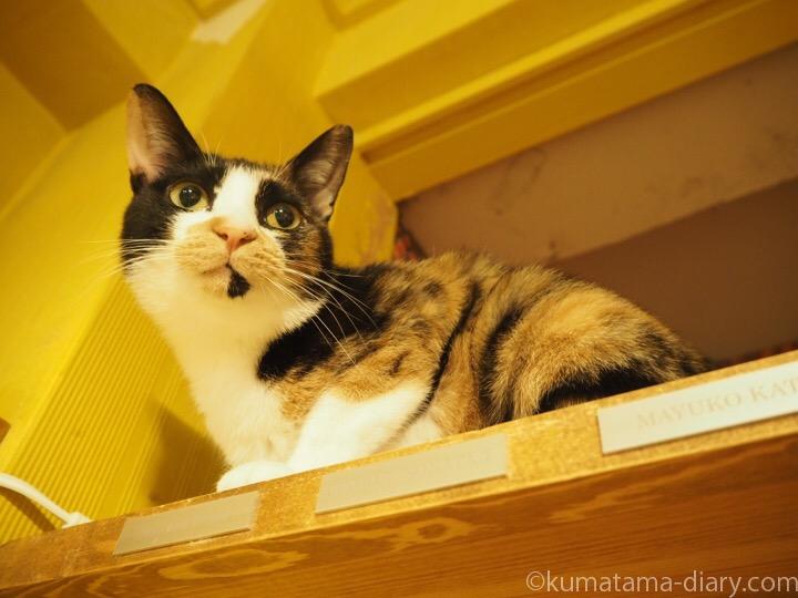 三毛猫のもろみちゃん