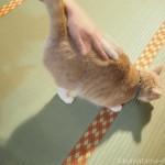 お尻トントンが好きな「ネコリパブリック東京お茶の水店」のクリーム猫さん