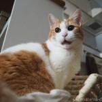 冷えとり健康法で有名な「快肌布(かいきふ)」を愛用する猫