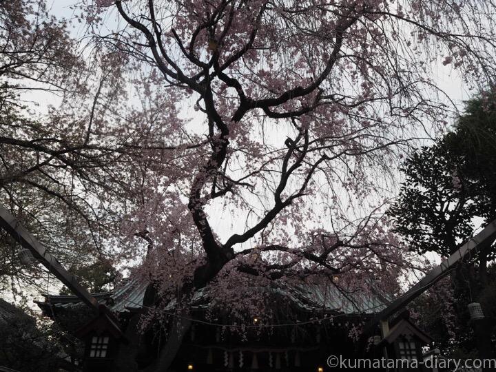 白山神社しだれ桜