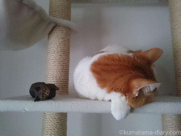 たまきと木彫りキジトラ猫