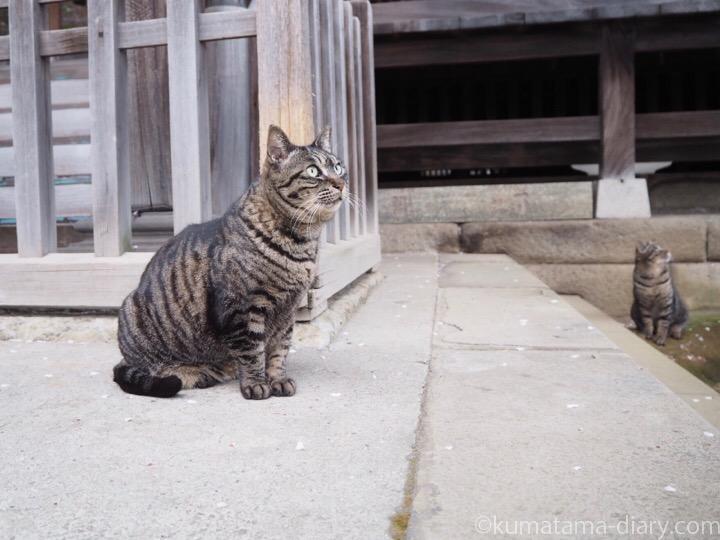 上を見るキジトラ猫さん2匹