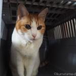 エサがなくてもアイリスオーヤマの「トラベルキャリー」に入る猫