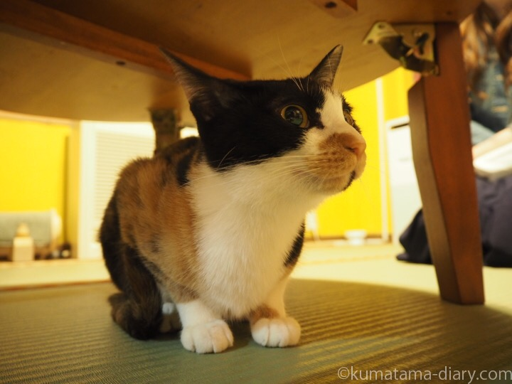 三毛猫もろみちゃん
