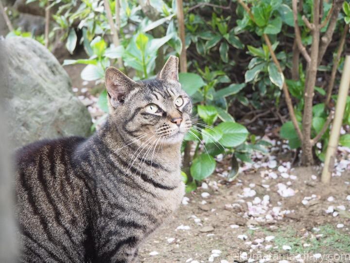 見上げるキジトラ猫さん