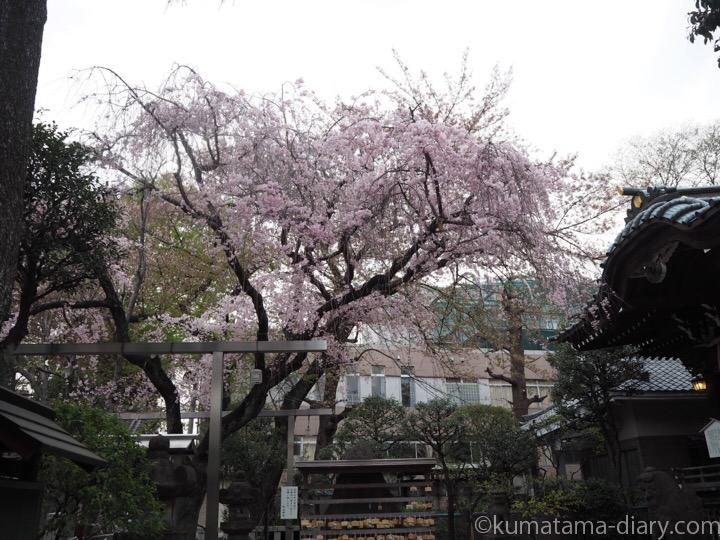 白山神社桜