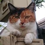 【文京区】久しぶりに見かけた三毛猫さん