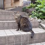 いつもと違う場所にいた「白山神社」のキジトラ猫さん