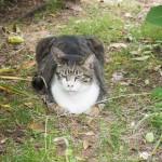 「白山神社」で見かけた個性的な顔立ちのキジトラ白猫さん