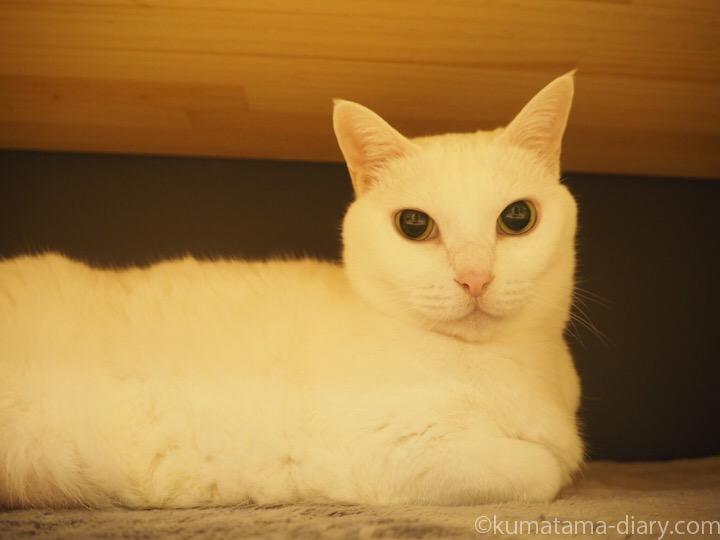 白猫ネージュさん