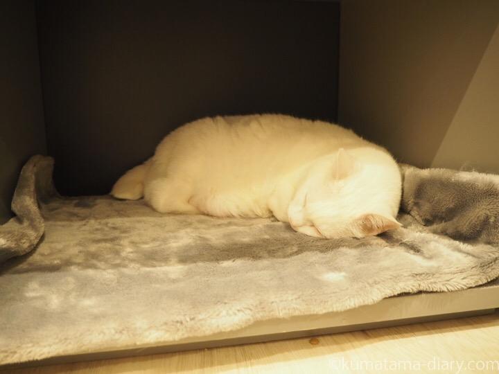 眠る白猫ネージュさん