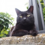 【文京区】「白山神社」塀の上のキレイな黒猫さん