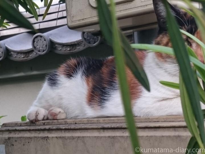 三毛猫さん体