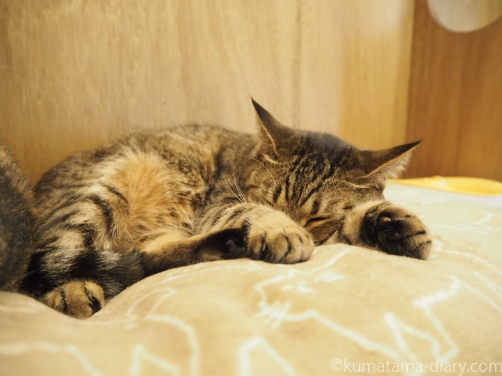 キャッツミャウブックスのキジトラ猫さん