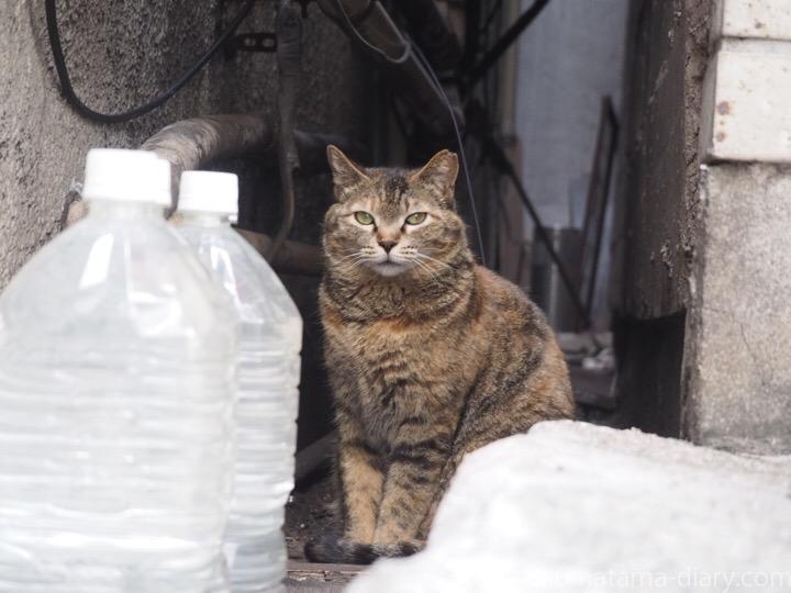 日本橋のキジトラ猫さん