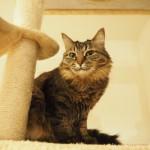 保護猫カフェ「ネコリパブリック池袋店」の長毛猫さん