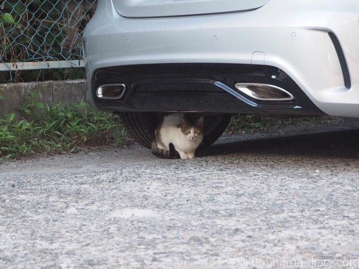 駐車場のキジトラ白猫さん