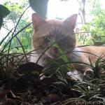 【入間市】彼の家の庭でくつろぐ茶トラ白猫さん