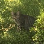 彼がサイクリング中に見かけたキジトラ猫さん