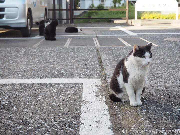 駐車場の黒白猫さんたち