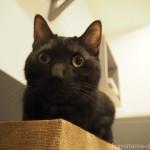 「ネコリパブリック池袋店」のスモークグレーの猫さん