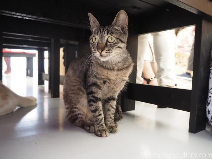 江戸ねこ茶屋キジトラ猫さん