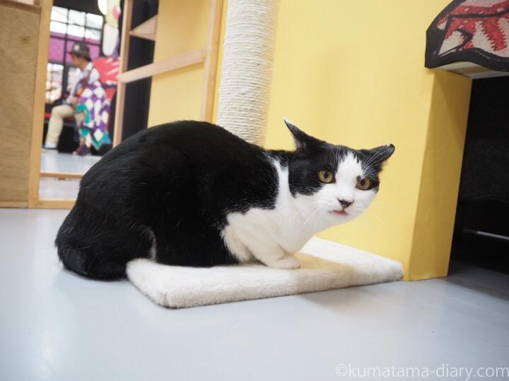 黒白猫さんイカ耳