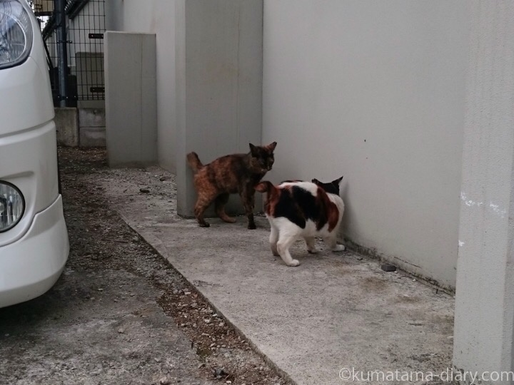 三毛猫さんに怒るサビ猫さん