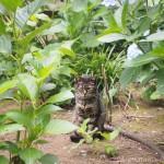 『文京あじさいまつり』直前の「白山神社」の猫さんたち