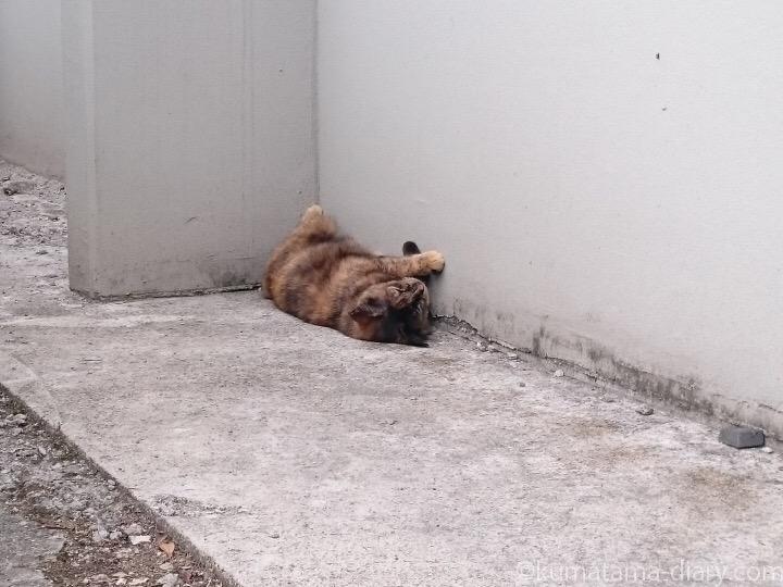 サビ猫さんゴロン
