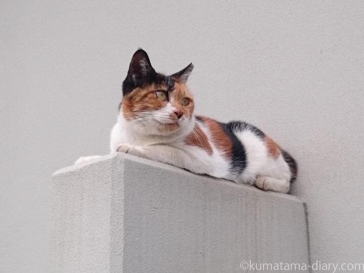 素知らぬ顔の三毛猫さん