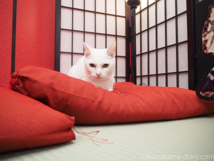 ねこ遊郭の白猫さん