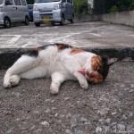 【文京区】舌を出して体をなめる駐車場の三毛猫さん